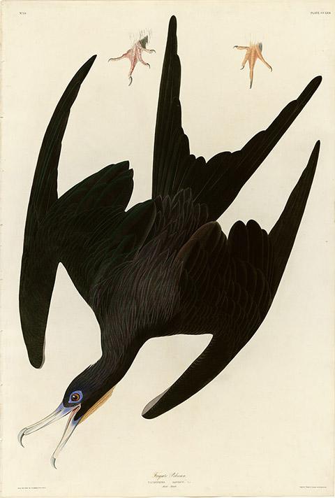 po_Audubon-John7